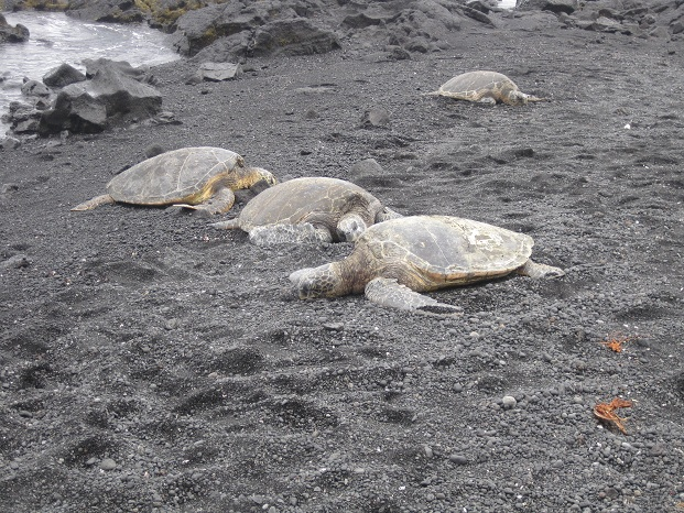 Schildpadden op Black Sand Beach