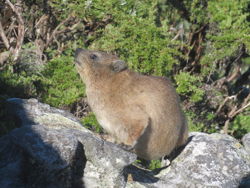 A Dassie on Table Mountain