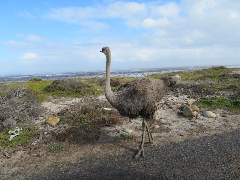 Female Ostrich near Cape of Good Hope