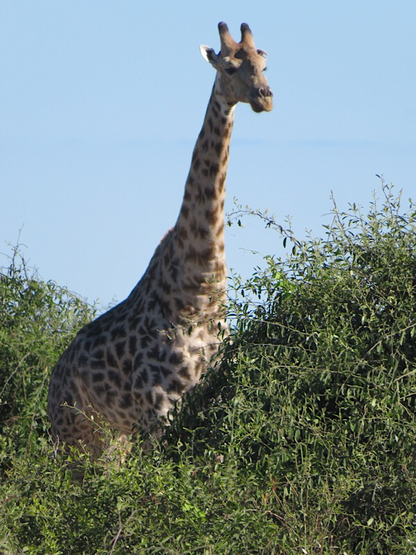 Africa: Giraffe in Botswana