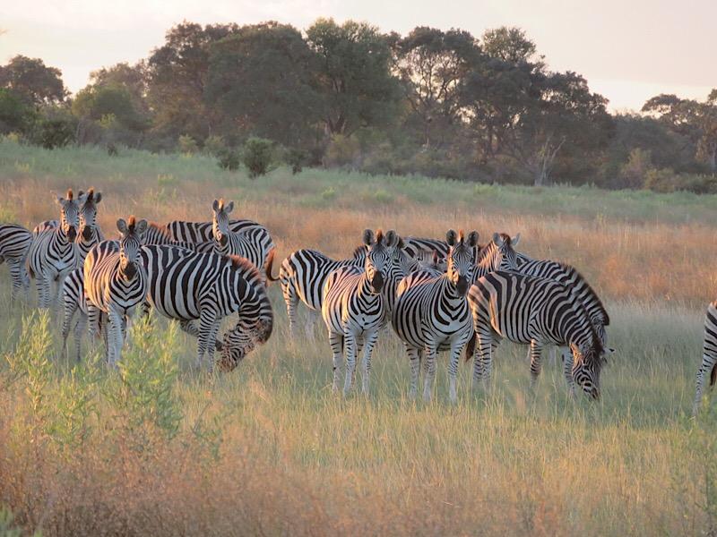 Zebras in Okavango Delta