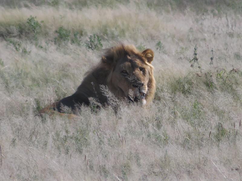 Africa: Lion in Etosha