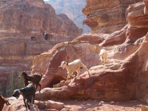 Geiten in Petra